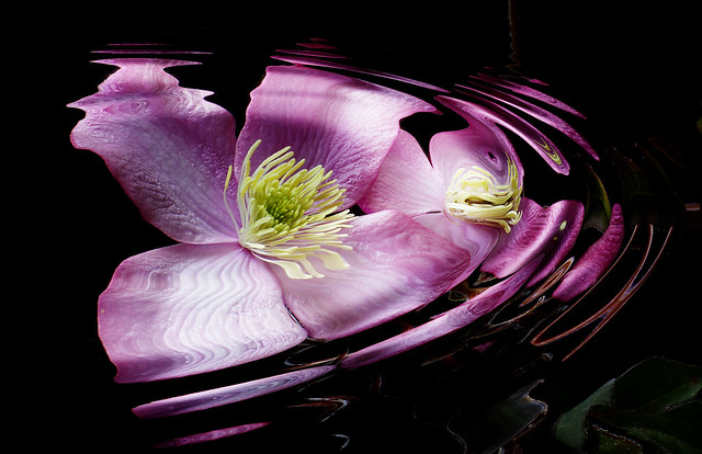 Anemone clematis. (rippled)