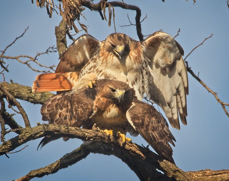 Red-tailed hawks Christo and Amelia mating