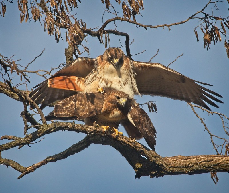 Red-tails Christo and Amelia mating