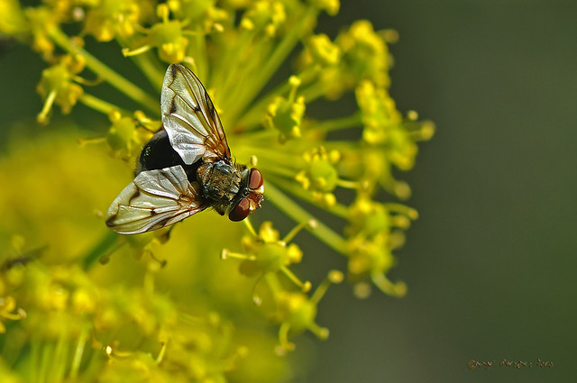 Ectophasia leucoptera (Rondani 1865)