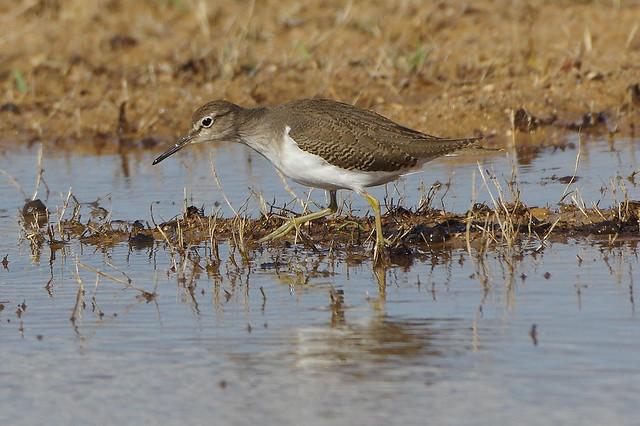 K32P1374a Common Sandpiper, Lagoa dos Salgados, October 2019