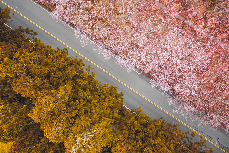 櫻花季 SAKURA