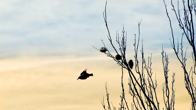 Starling - Estorninho