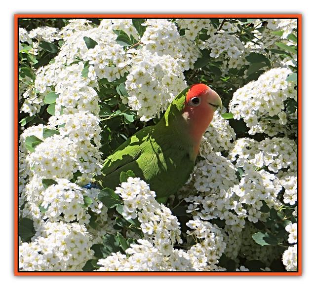 Lovebird in Bridal Wreath Spirea