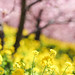 Oil seed flowers and cherry blossoms