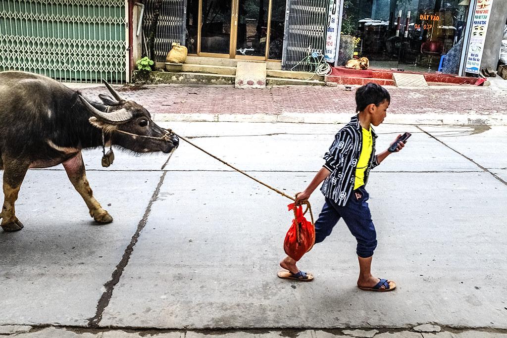 Boy leading water buffalo while looking at smart phone--Si Ma Cai