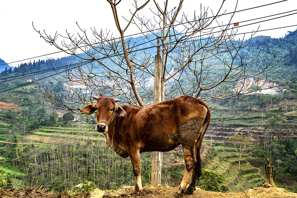 Cow southwest of town on 2-18-20--Si Ma Cai