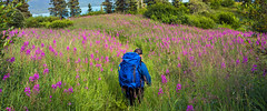 Fields of Fireweed [Explore]  (由  Tom Fenske Photography