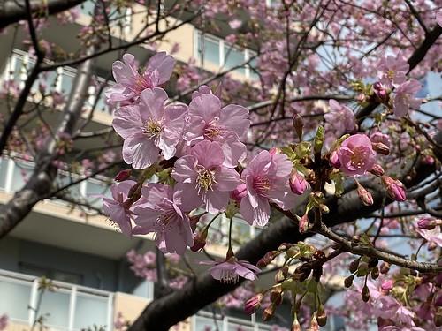 河津桜  恵比寿東公園(タコ公園) 2020/2/18