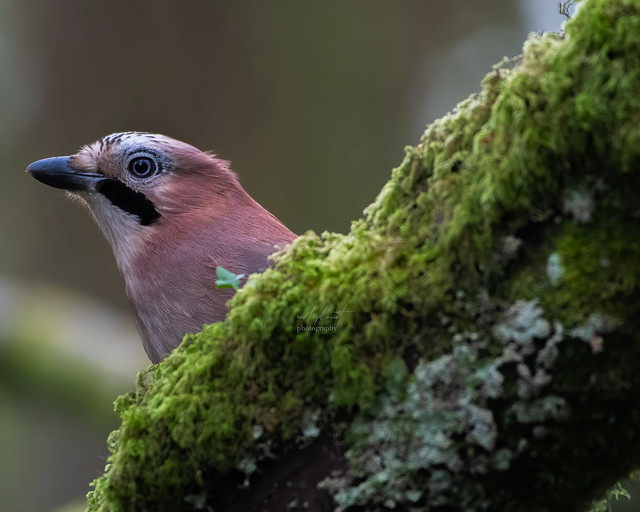 close up of a jay