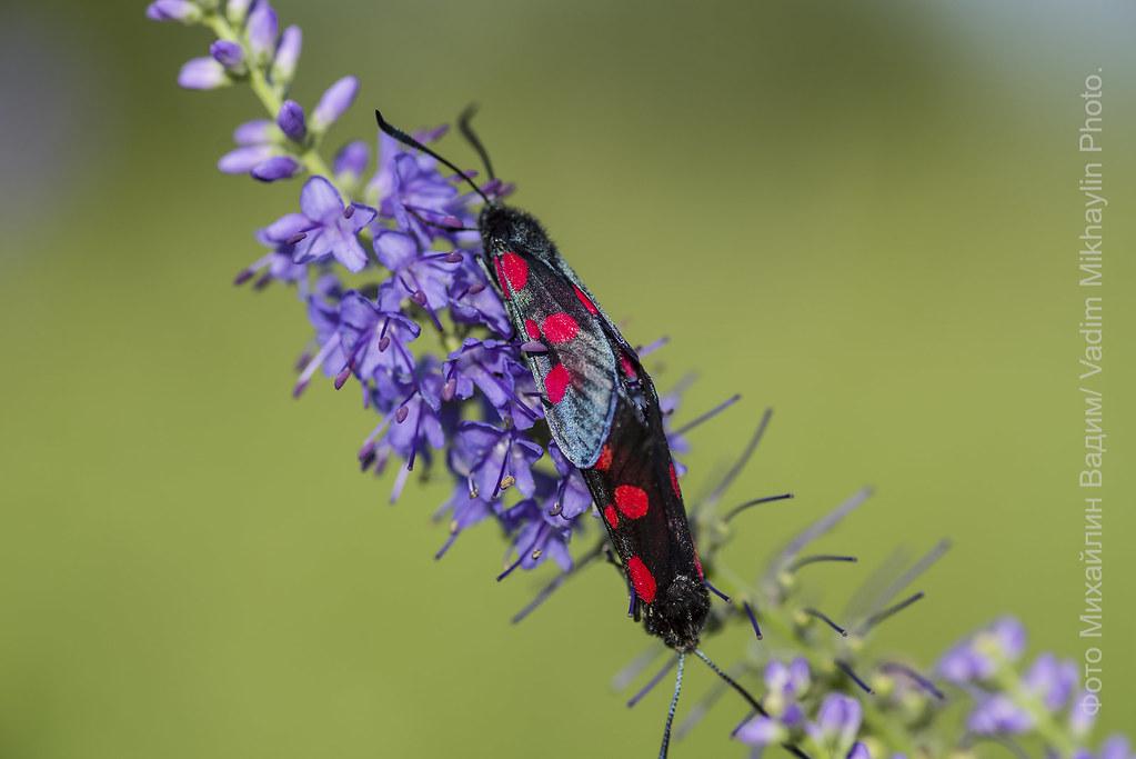 ядовитые бабочки.