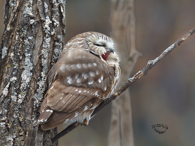Baillant - Petite nyctale / Northern Saw-whet Owl - Yawning