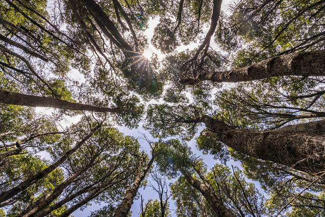 Bariloche Forest looking up