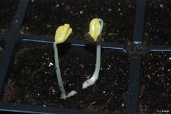 Roselle Plant - Hibiscus sabdariffa