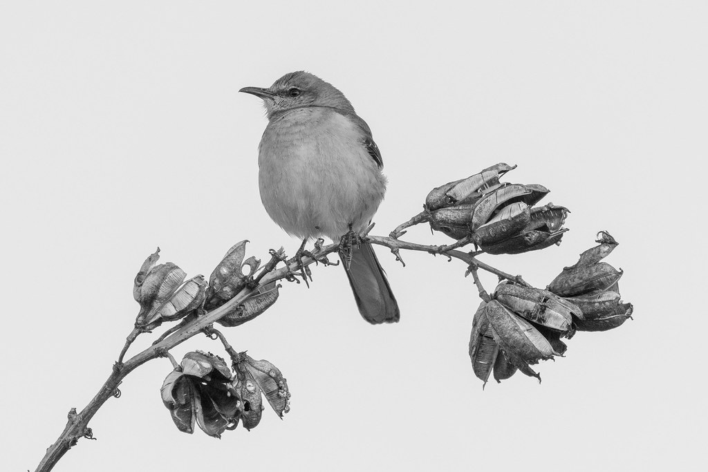A black-and-white version of a northern mockingbird perching on the flower stalk of a soaptree yucca at the Brown's Ranch Trailhead in McDowell Sonoran Preserve in Scottsdale, Arizona in February 2020