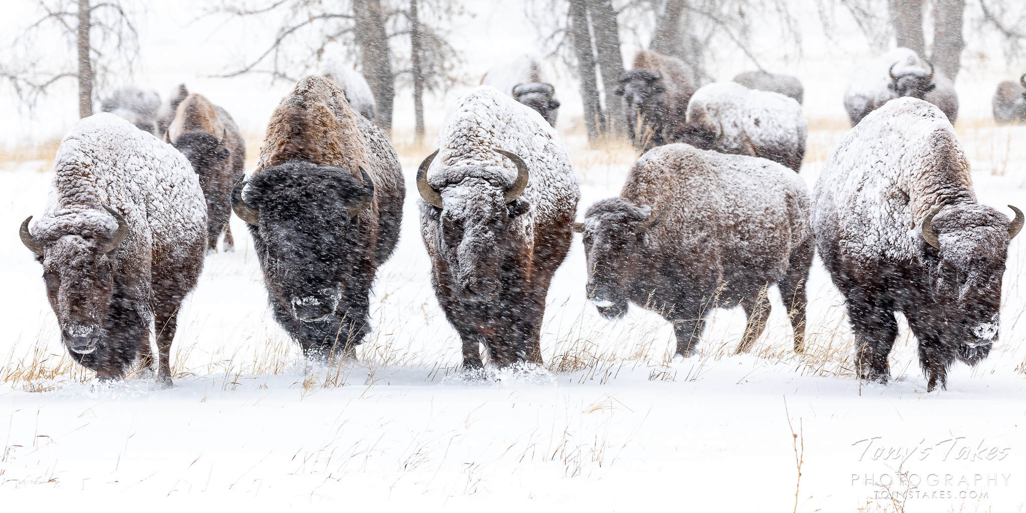 Bison herd marches into the storm
