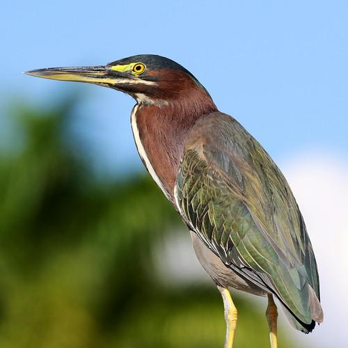 outdoor dennis adair shore sky nature wildlife 7dm2 7d ii ef100400mm ocean canon florida bird beak