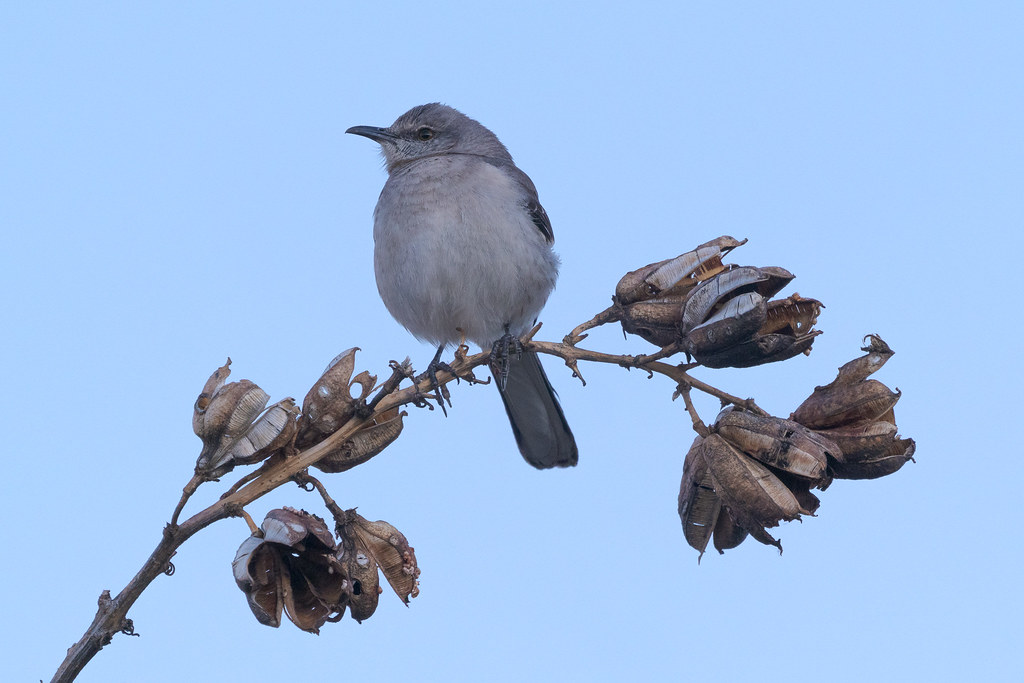 In the blue light before the sun was up, a northern mockingbird perches on the flower stalk of a soaptree yucca at the Brown's Ranch Trailhead in McDowell Sonoran Preserve in Scottsdale, Arizona in February 2020