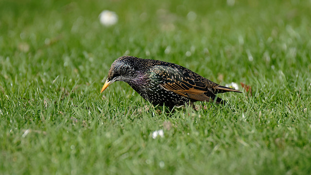 Starling in action (1/3)