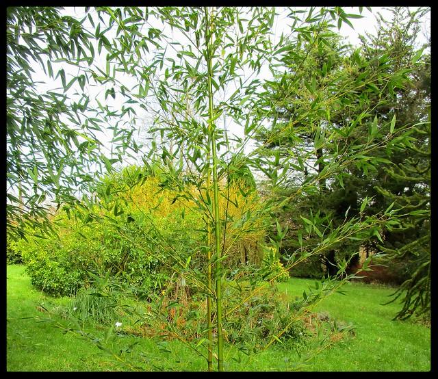 Spring Time Bamboo
