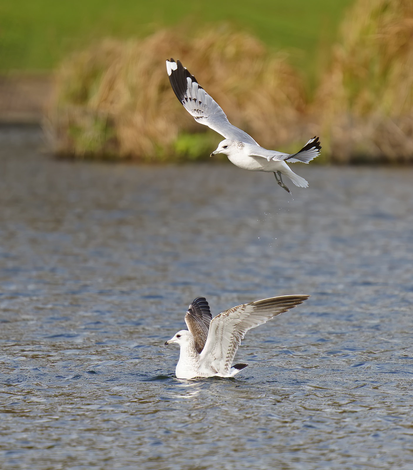 Common Gull and Lesser BB Gull