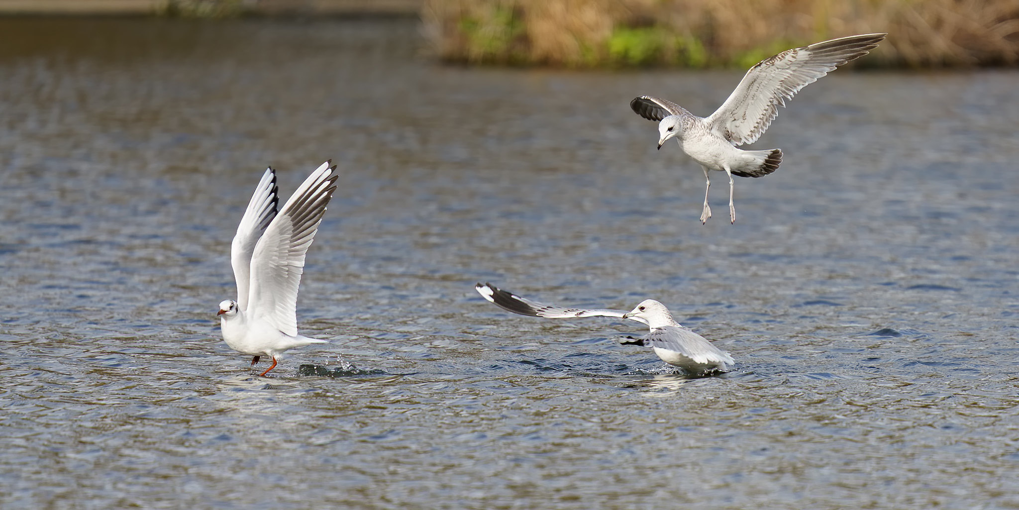 Common Gull, Lesser BB Gull and Black-headed Gull