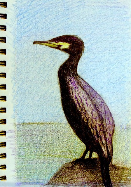 Cormorant. Coloured pencil drawing on card by jmsw.