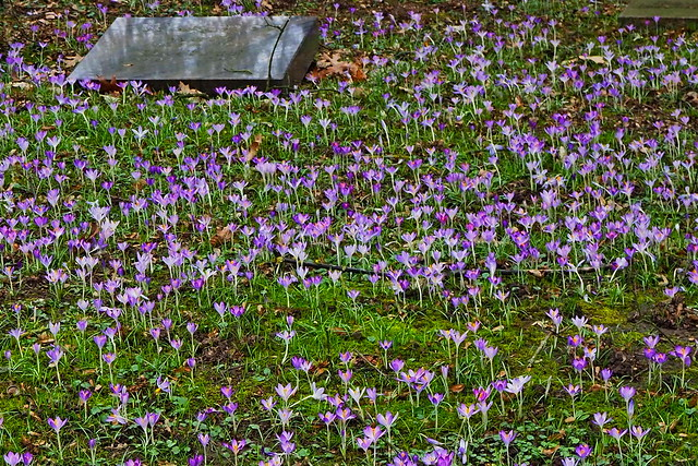 An assembly of wild crocus flowers in a Grave yard.