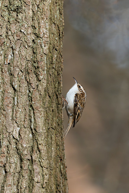 (Eurasian) Tree Creeper