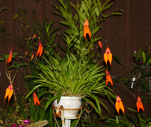 Masdevallia veitchiana 'Sol' species orchid 2-20
