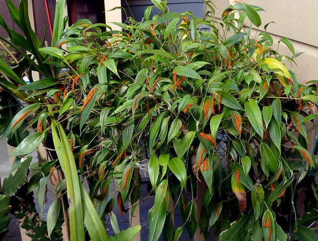 Pleurothallis truncata species orchid 2-20
