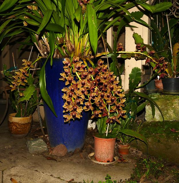 Cymbidium Fatal Beauty hybrid orchid 2-20