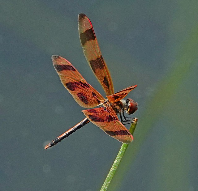 Halloween pennant Dragonfly. Everglades wetlands , Florida. October 2019  #libellula #dragonfly #insect #bug #entomology #florida #nature #wildlife #wild #life #sonyrx10iv #orange #black #fall #cute #love #animal #forest #photography #art #vision #light #