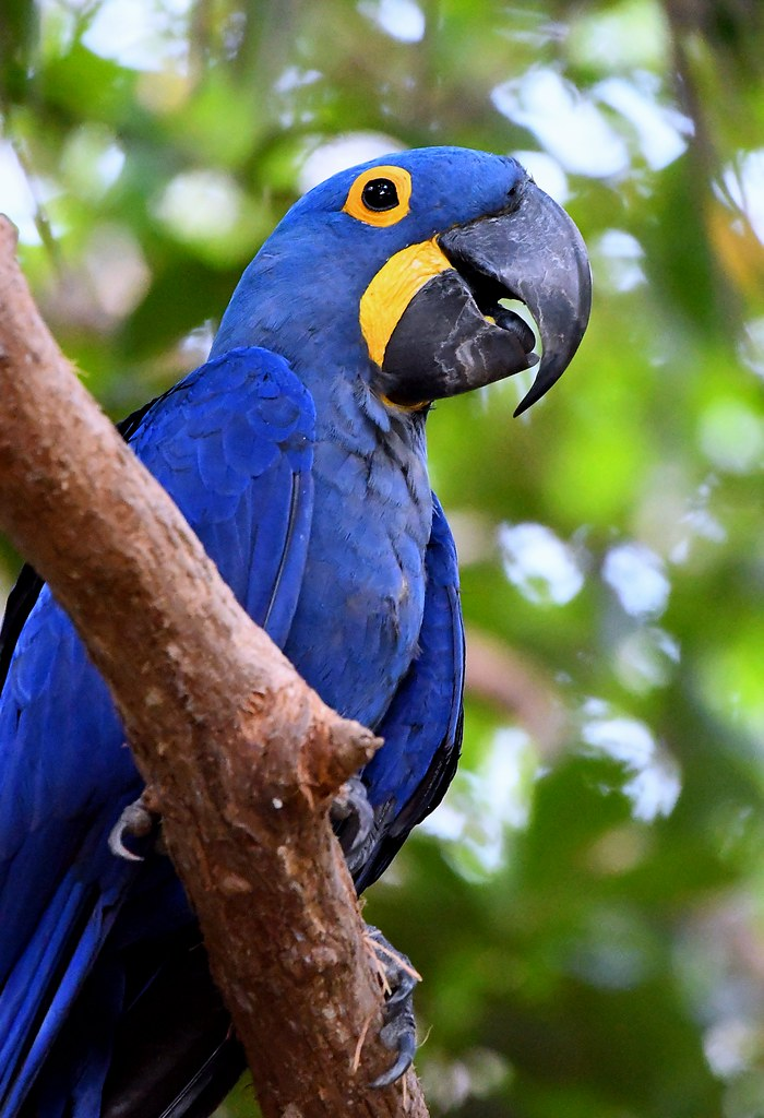 Hyacinth Macaw up in the canopy of a Pantanal tree