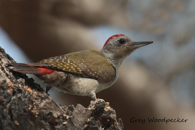 GREY WOODPECKER  (m) //  DENTROPICOS GOERTAE (20cm)