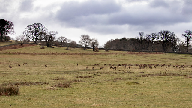 20200210 0010 Red Deer Bradgate Park Leicestershire