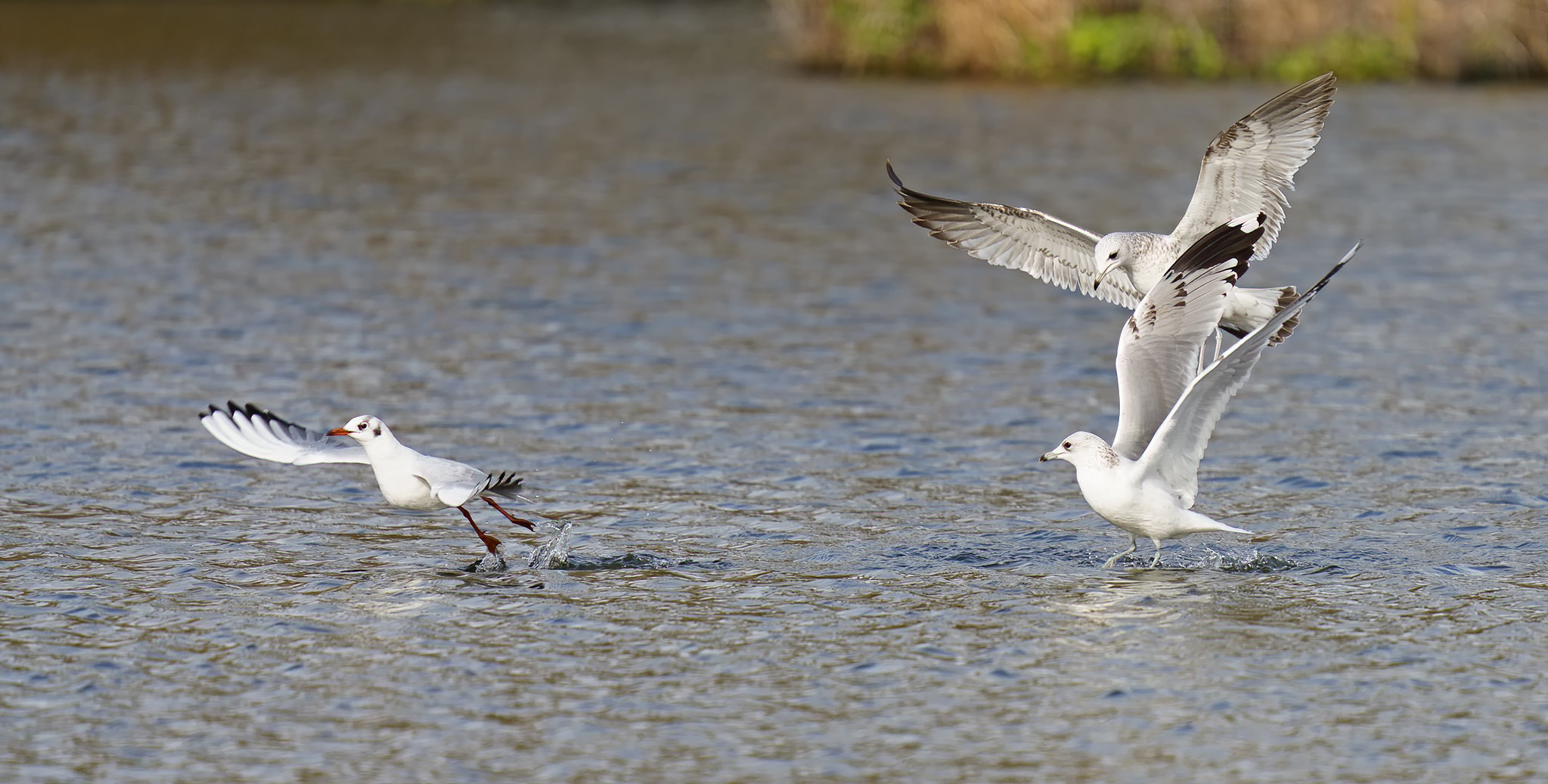 Common Gull and Black-headed Gull