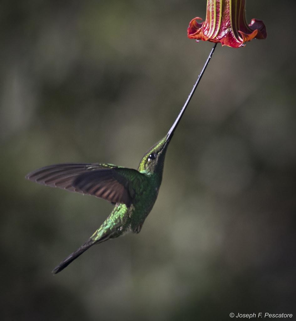 Sword-billed Hummingbird (Ensifera ensifera) - Tandayapa, Ecuador