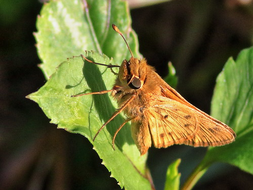 Fiery Skipper 20200218