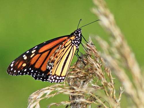 Monarch butterfly 20200218
