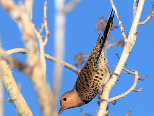 Northern Flicker female display 02-20200218