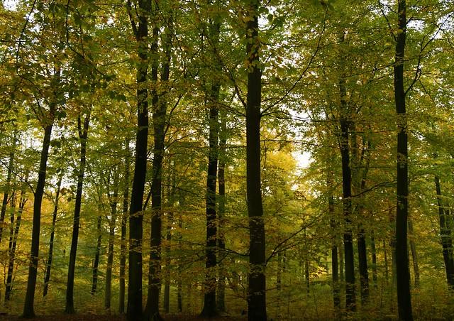 Beech forest - Valby Hegn - Zealand - Denmark
