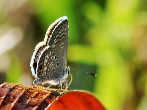 Ceraunus Blue 02-20200218