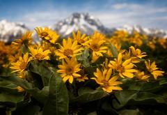 Balsam Root wit Mt. Moran