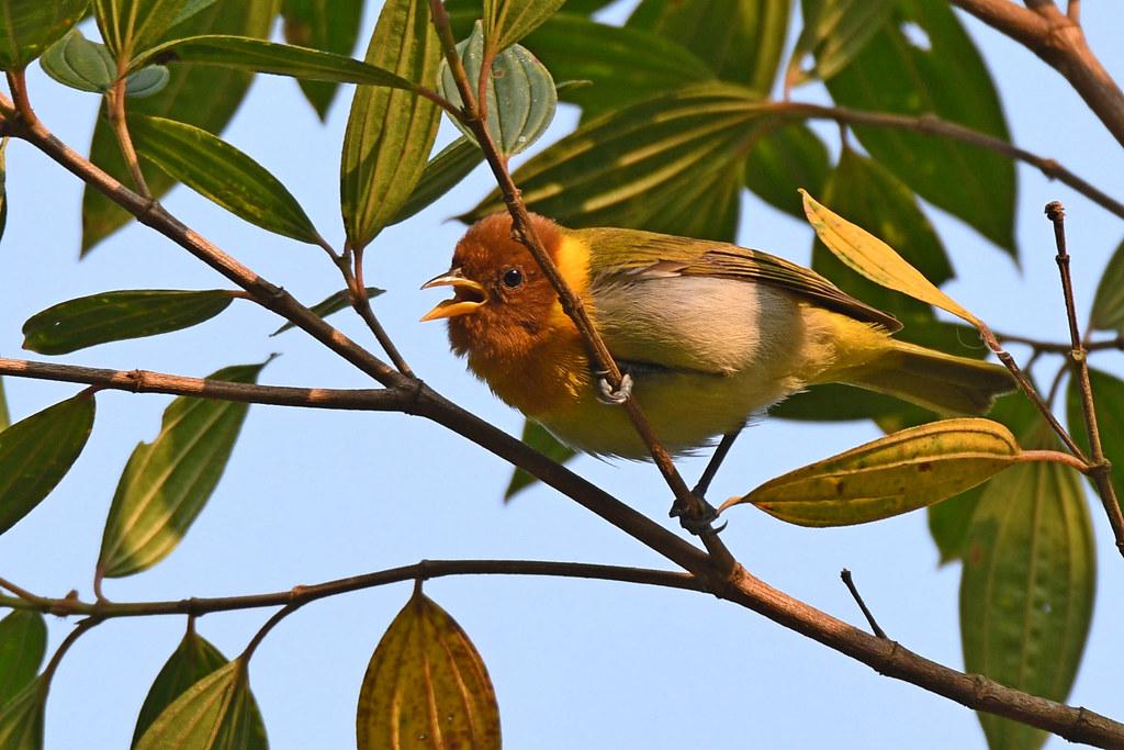 Rufous-headed Tanager // Saíra-ferrugem