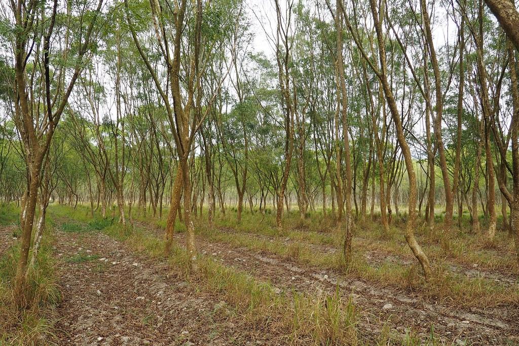 台糖指出將選擇林相較差的三個區塊,改良土壤進行營農型農電共生。攝影:李育琴