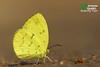The Siamese Pale Grass Yellow - ผีเสื้อเณรสีจางไทย