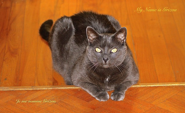 GRIZOU the CAT at 9 YEARS OLD ..... ( He Died at 10 Years Old )