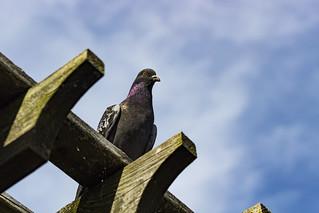 Pigeon 2018