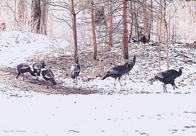 Wild Turkeys in Old Photo effect.